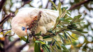 cockatoo eating seeds