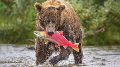 Example Omnivorous Heterotroph bear