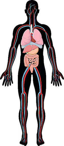 Human body diagram as homeostasis examples