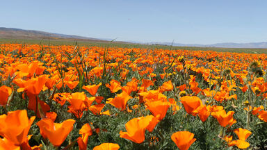 poppy flowers california