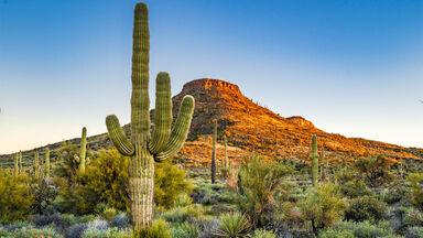 saguaro cactus in scottsdale arizona example xerophyte