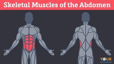 skeletal muscles of the abdomen