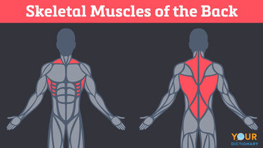 skeletal muscles of the back