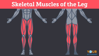 skeletal muscles of the leg