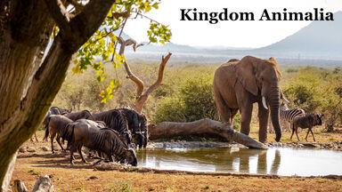 Kingdom Animalia example