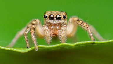 jumping spider saltines scenicus