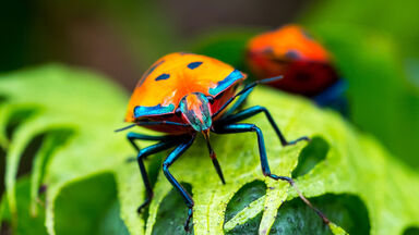 ladybug on leaf arthropod