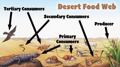 desert food web