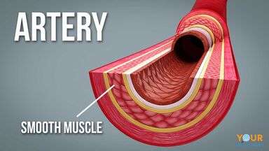 diagram of artery with smooth muscle identification