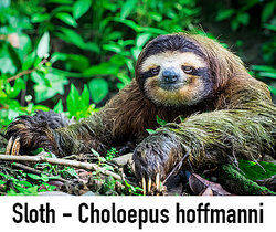 Sloth in a tree as species examples