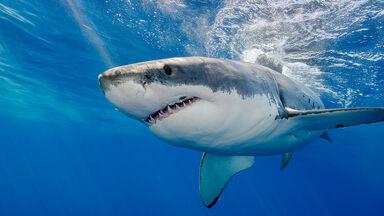 great white shark carnivore