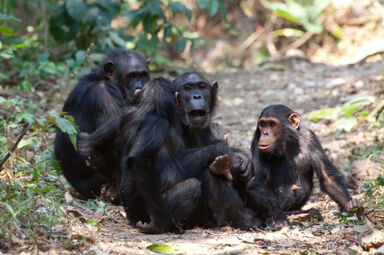 Studying chimpanzees in the wild