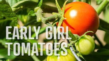 early girl tomatoes letter E food