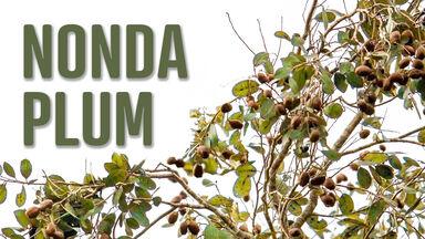 n food nonda plum on tree