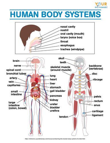 human body systems diagram worksheet