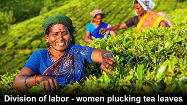 Indian women picking tea leaves