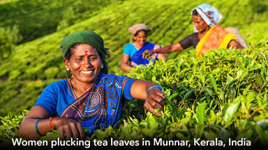 Indian women picking tea leaves