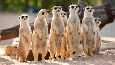 adaptable meerkats standing in row