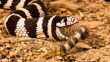 king snake eating a rattlesnake