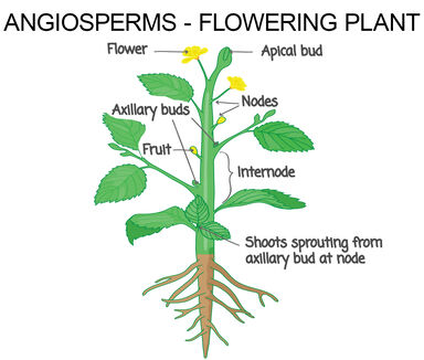 angiosperms are flowering plants