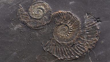 Fossil at Kimmeridge bay, Jurassic coastline Dorset, England