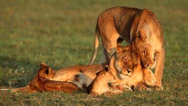 lioness and cubs offspring