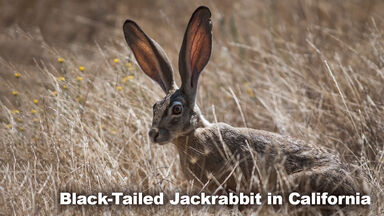 Black-Tailed Jackrabbit in Desert Biome