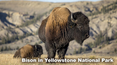 Example of Grasslands Biome animal bison