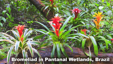 Bromeliad plant in Rainforest Biome