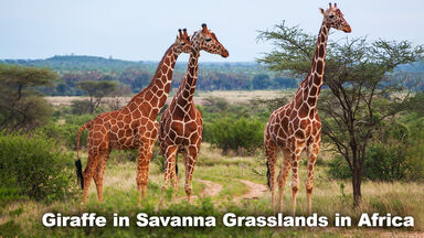 Savanna Grasslands Biome Giraffe in Africa