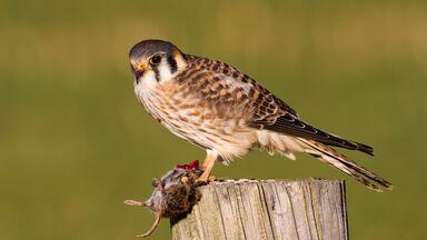 sparrow hawk captured a mouse