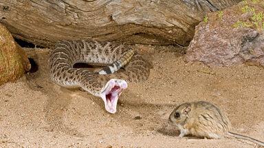 rattlesnake capturing a kangaroo rat