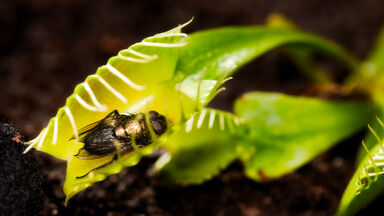 insect in venus fly trap