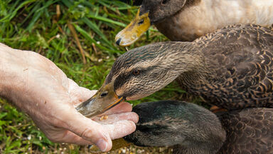 example of habituation ducks eating out of hand