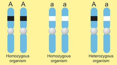examples of homozygous
