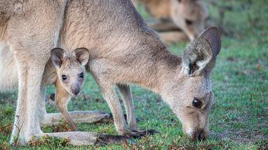marsupial animal kangaroo with joey