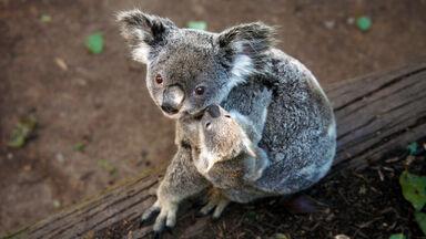 marsupial animal koala with joey