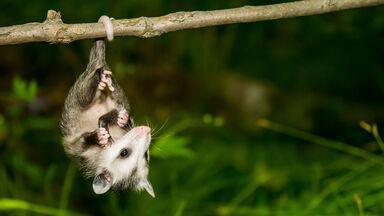 marsupial animal opossum hanging by tail