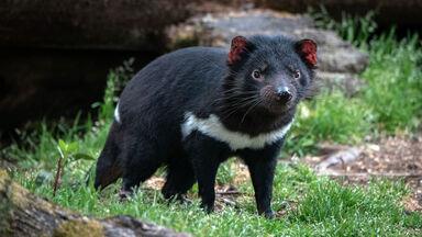 tasmanian devil is marsupial animal example