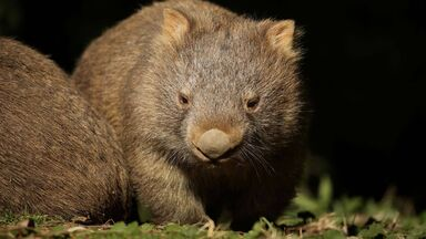 marsupial animal example of a wombat
