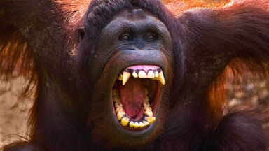 orangutan showing teeth