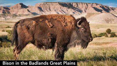 bison badlands great plains united states