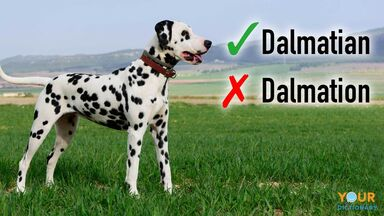 correct and incorrect spelling of Dalmatian