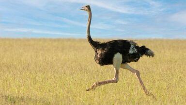 ostrich running evolution example