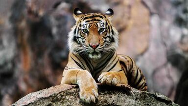tiger is a gradualism example