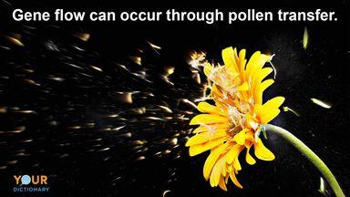 gerbera daisy pollen transfer gene flow example