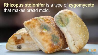 zygomycetes example of rhizopus stolonifer making bread mold