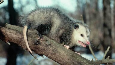 opossum fact gray or whitish fur