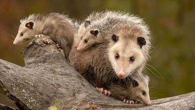opossum fact that opossums have multiple babies