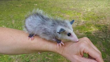 opossum fact that babies are called joeys